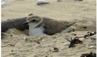 Déconfinement : les oiseaux du littoral en danger